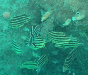 Shoal of Stripey