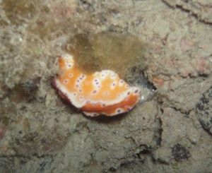 Purple Spotted Orange Nudibranch - BHP Jetty Night Dive