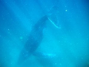 Humpback Whale Nose Down