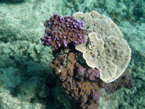 Mauve Coral