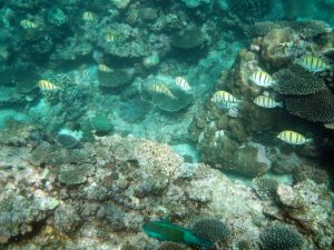 Yellow Stripey Shoal