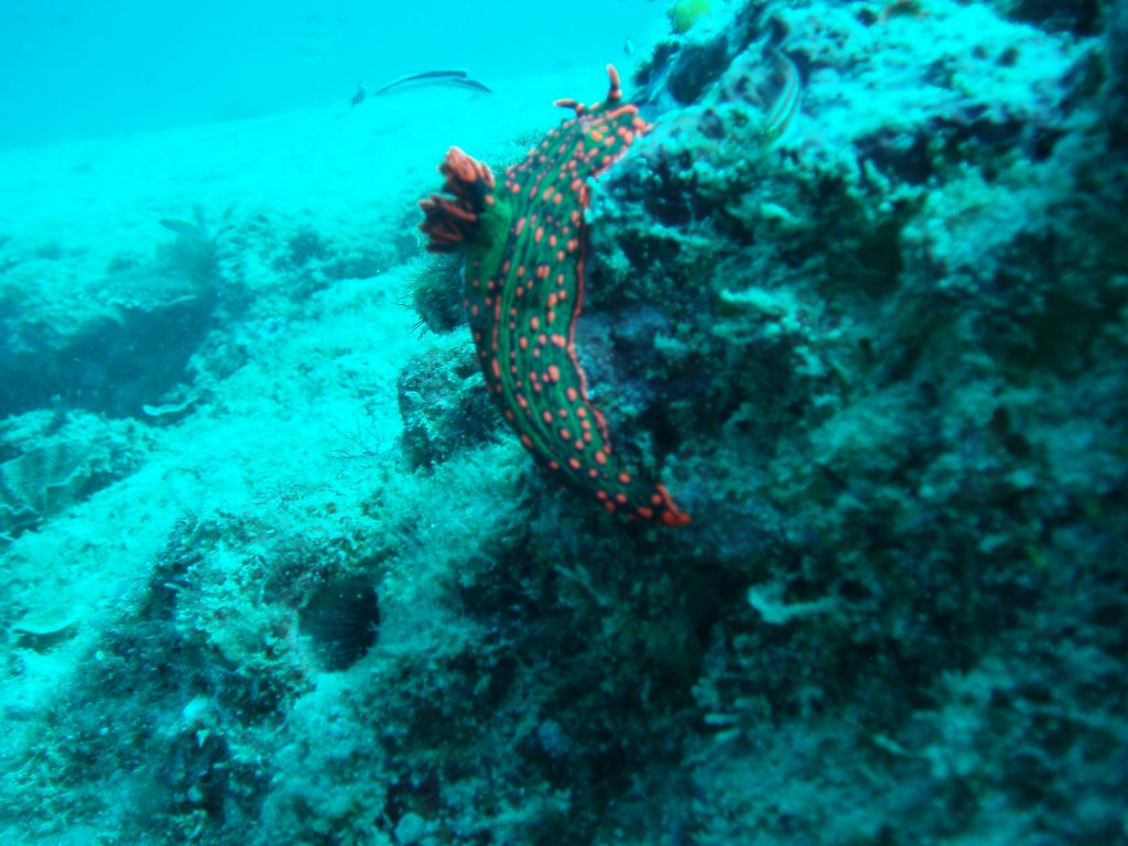 Nudibrach Red and Green